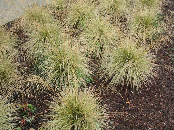 The 25 best ornamental grasses for shade ideas on pinterest for Ornamental grasses for shade