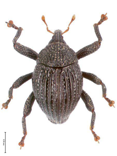 Trigonopterus delapan von der Insel Flores. Der Name bedeutet auf Indonesisch...