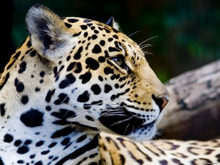 jaguar animal profile | The Jaguar in a profile, animals, cats, jaguars, muzzle 1600x1200 ...
