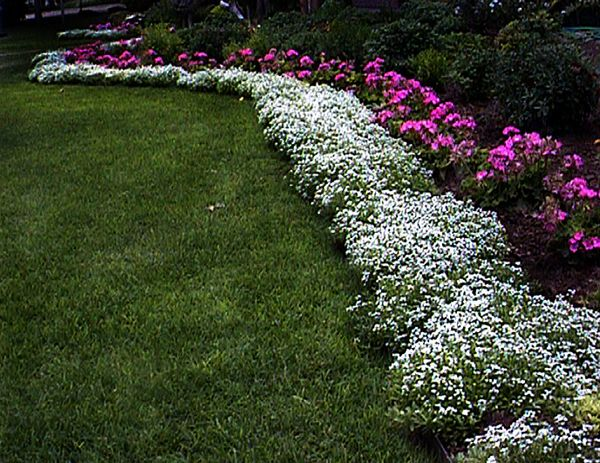 Sweet alyssum white flowers pinterest gardens for Garden border plant designs