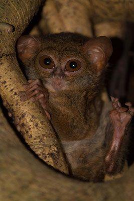 Indonesia || Sulawesi - Tangkoko Nature Reserve