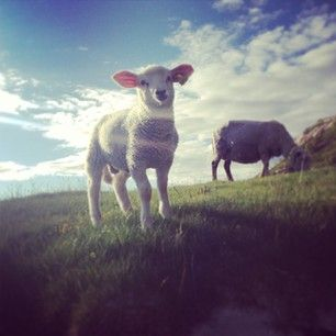 Cute lamb on Mjelle, Norway