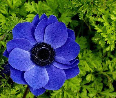 """Flor Homes: Anemonas; Según el Diccionario Inglés de Oxford, anémona griega significa """"hija del viento"""", de Anemos """"viento"""" + femenina -uno sufijo patronímico."""