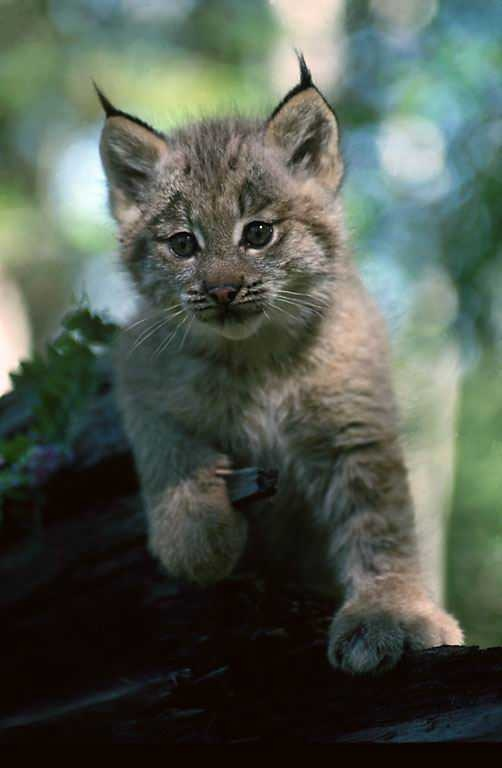 Lynx, Biology and New hampshire on Pinterest