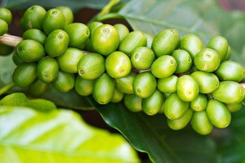 Wake up happy - Grüner Kaffee! | Terra Elements