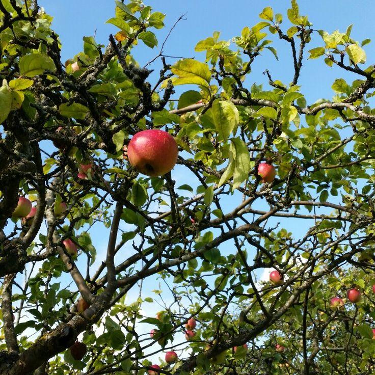 Apples fall denmark