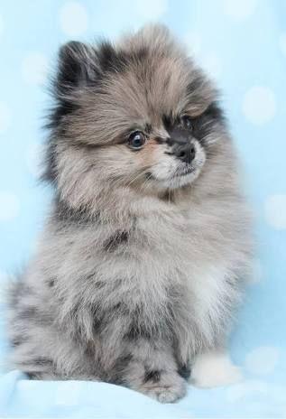 Tea Cup Pomeranian - Google Search