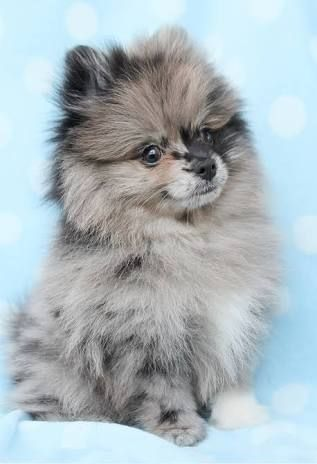 Tea Cup Pomeranian - Google Search