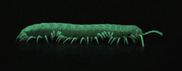 New Glowing Millipede Found; Shows How Bioluminescence Evolved - I could stare at this gif all day.