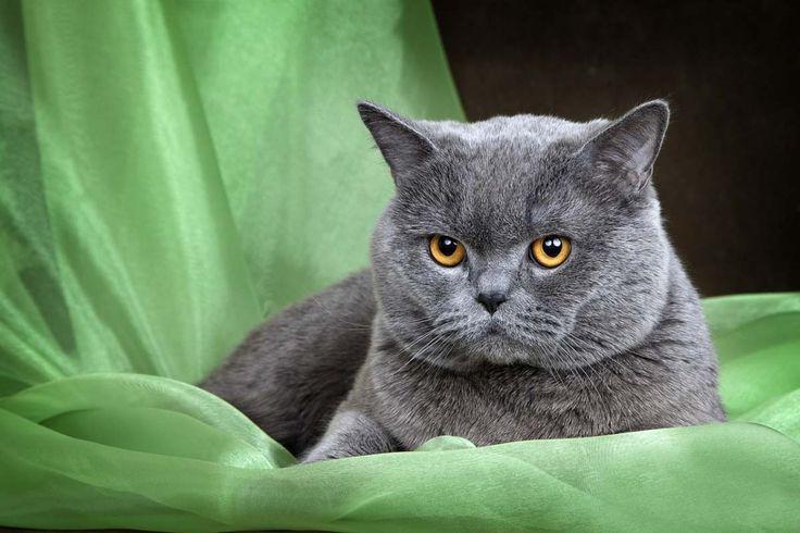 Нежная, милая, такая пушистая и очень обворожительная шотландская прямоухая кошка (скоттиш-страйт), как и шотландская вислоухая кошка – мечта для многих любителей домашних питомцев.