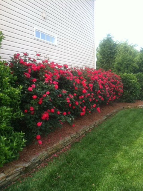 double knock out roses minimal care beautiful results flower gardeningflowers - Flower Garden Ideas With Roses