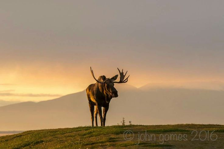A Magnificent Moose In The Fall John Gomes-October 2016. Courtesy of Channel 2 Weather Team, Alaska.