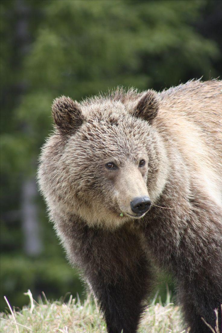 Kanada - der Traum eines jeden Road Trip Fans. Wilde Tiere, unfassbare Seen und unendliche Weiten. PASSENGER X nimmt dich mit auf 3 Wochen Abenteuer, von Toronto bis Vancouver. -Grizzly im Banff National Park-