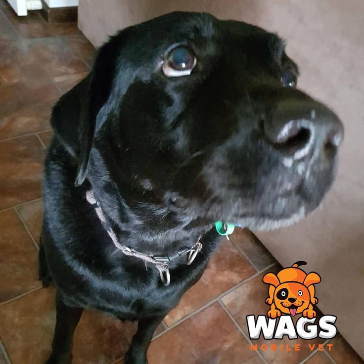 Does your pet need their nails trimmed or anal glands expressed regularly? Do they get stressed when you take them to the local vet clinic? Wags Mobile Vet is hear to help. Jonty recently had a nurse visit to have his anal gland expressed and his nails trimmed. He loved the treats we brought for him.  Please can I have some more  #wagsmobilevet #mobilevet #veterinarian #vetlife #brisbanepets #petsofbrisbane #dogsofbrisbane #petoftheday #petsofinsta #instapets #cutepets #catsofinstagram…