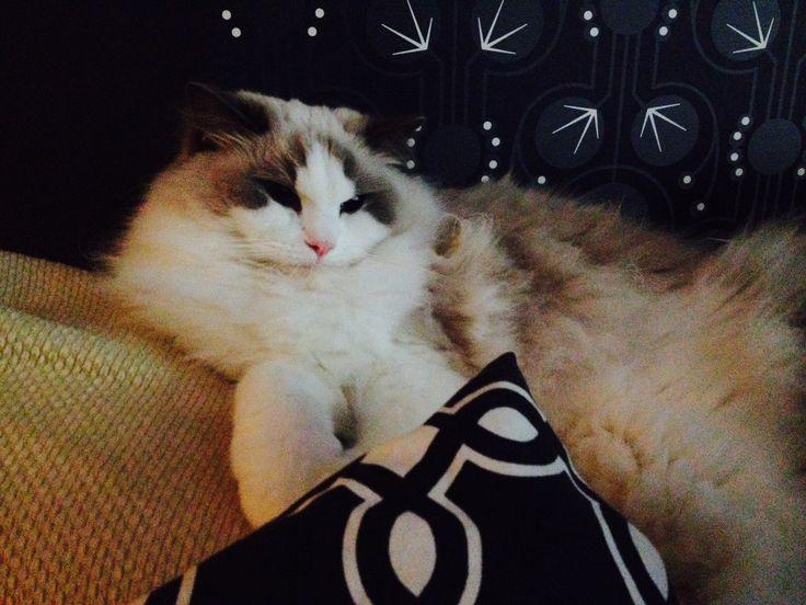 Velmu the cat