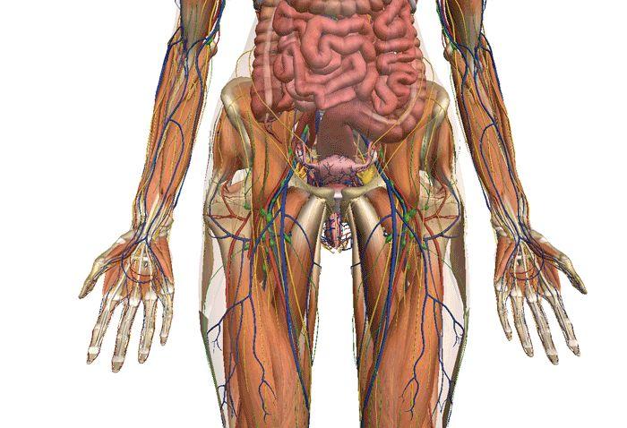 Zygote anatom a del cuerpo humano 3d cmnsc pinterest d 3d and blog - Interior cuerpo humano organos ...