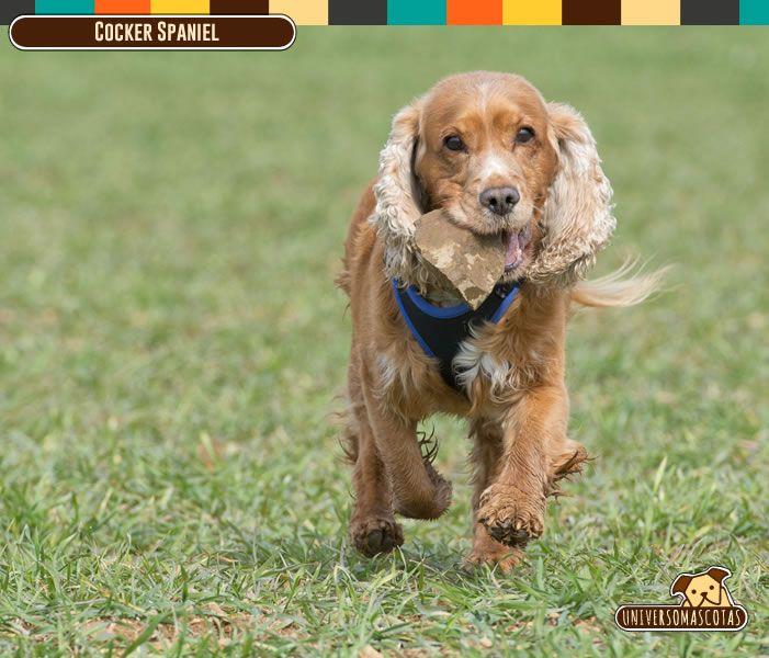 Origen: Reino Unido Tamaño: Mediano.  Conoce más de esta ágil y cariñosa raza en: http://www.universomascotas.co/razas/perros/cocker-spaniel/137