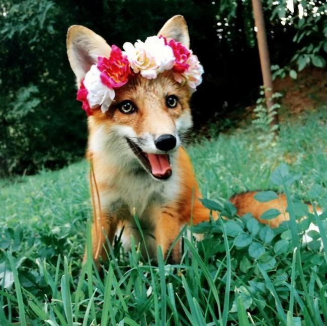 Conheça Juniper, a simpática raposa de estimação