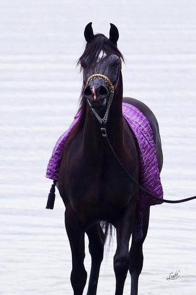 Black Arabian Stallion, Dressed in Purple Silk