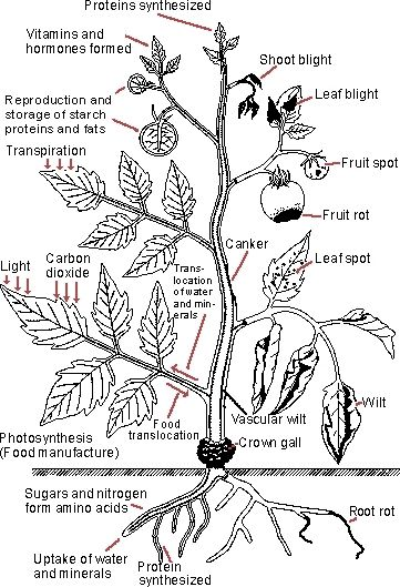 Handy illustration of common plant diseases and example photographs from the University of Florida.