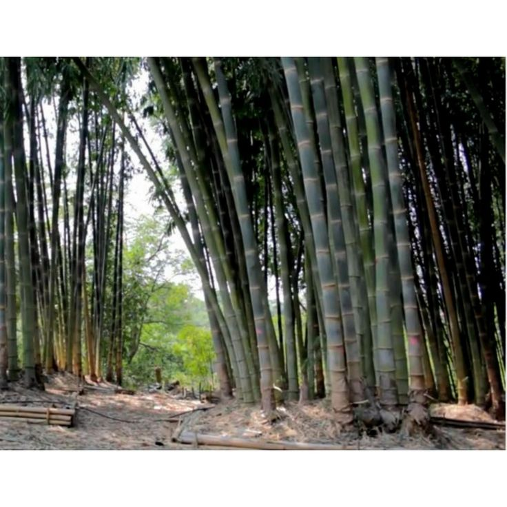 Male bamboo Seeds - Calcutta bamboo - Solid bamboo  1,50€  Male bambooSeeds- Calcutta bamboo - Solid bamboo (Dendrocalamus strictus) Price for Package of 5 or 20 seeds. Dendrocalamus strictus, also know as iron or male bamboo, calcutta bamboo or solid bamboo is a giant bamboo, which reaches a maximum height of 60 feet. Maximum diameter of the culms is around 5 inches. The lower parts of the culms are sometimes solid. Dendrocalamus strictu