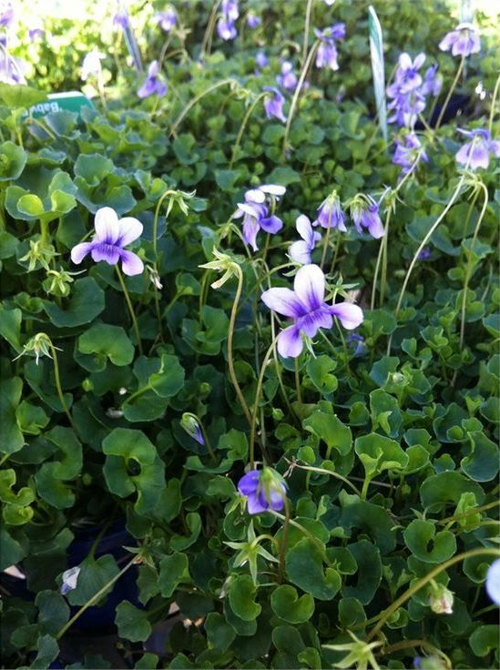 Hederecia is a species of violet which is native to Australia. It is common and widespread in Victoria and Tasmania, along the Great Dividing Range in New South Wales north at least to the Barrington Tops area, in the far south-east of South Australia, and in a small area of the Adelaide Hills between Belair and Mount Lofty