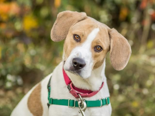 GEOFF is an adoptable Beagle searching for a forever family near Methuen, MA. Use Petfinder to find adoptable pets in your area.