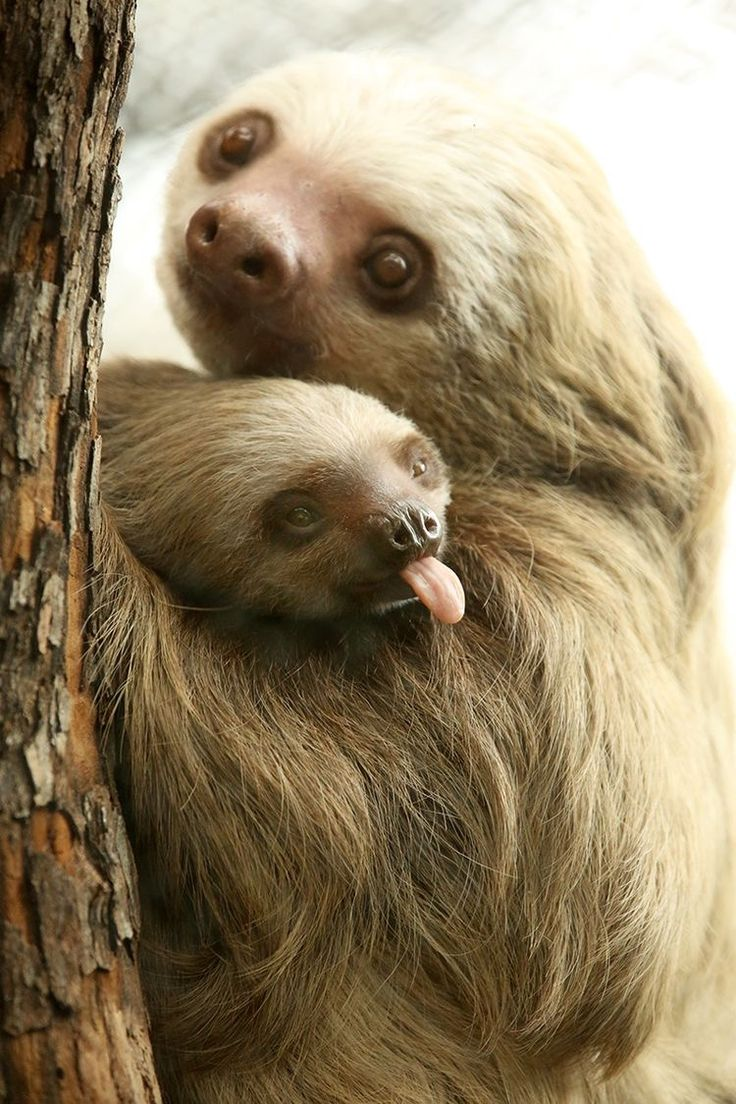 Sloth and baby. Unlike most other animals, there is no special name for a baby sloth. It is simply called a baby.