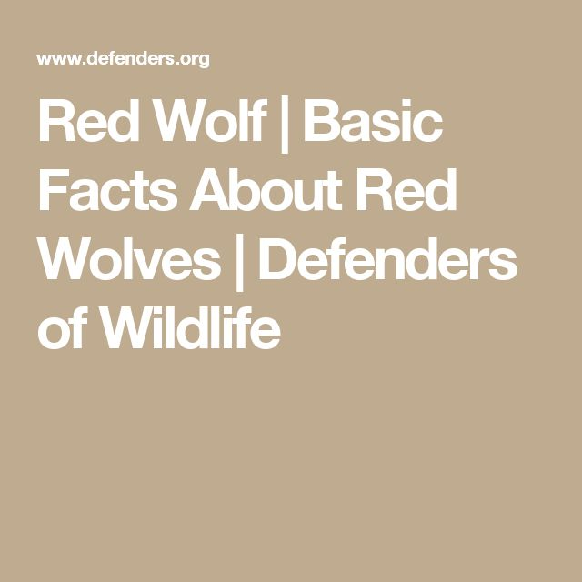 Red Wolf | Basic Facts About Red Wolves | Defenders of Wildlife