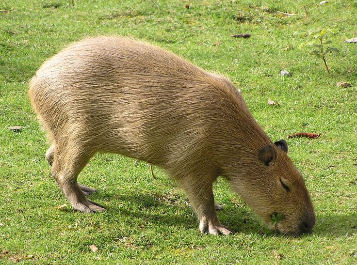 The Capybara is a large Rodent of the Genus Hydrochoerus. The Capybara is the largest Rodent in the world. Close relatives are Guinea Pigs and Rock Cavies, and it is more distantly related to the Agouti, Chinchillas, and the Coypu. The Capybara inhabits Savannahs and dense Forests and lives near bodies of water. It is a highly social species and can be found in groups as large as 100 individuals.