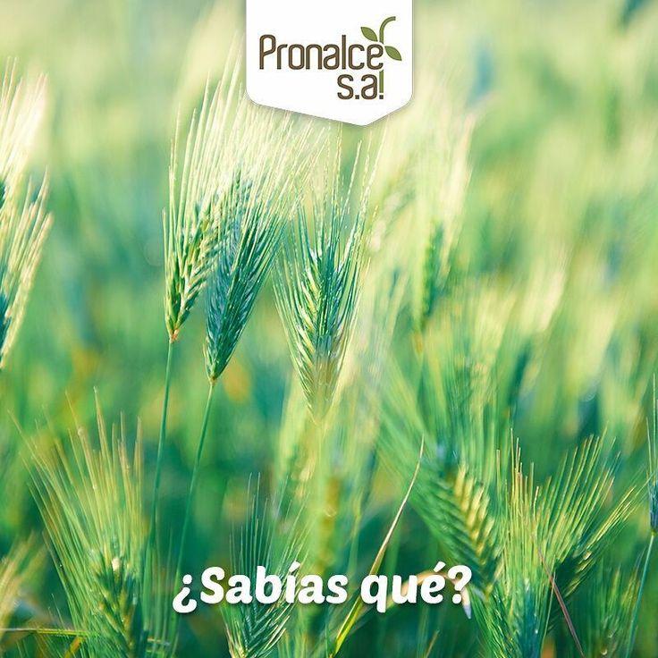 ¿#SabíasQue en el abono de los cereales, los principales macronutrientes son nitrógeno, fósforo y potasio, que se aplican según las condiciones del suelo y las necesidades específicas del cultivo?    #Pronalce #Avena #Wheat #Trigo #Cereal #Granola #Fit #Oats #ComidaSaludable #Yummy #Delicious #Tasty #Instagood #Delicioso #Sano #HealthyFood #Breakfast #Protein #Nutrición #Cereales