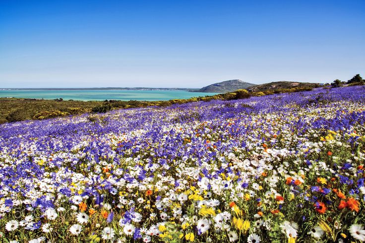 A windy day in Langebaan, Cape West Coast, South Africa - A strong wind blowing through a field of flowers, Langebaan, South Africa