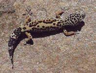 habitat: savane semi-désertiques, forêts d'eucalyptus. dimorphisme: mâle plus grand, tête plus forte, barbe noire en période de rut, présenc...