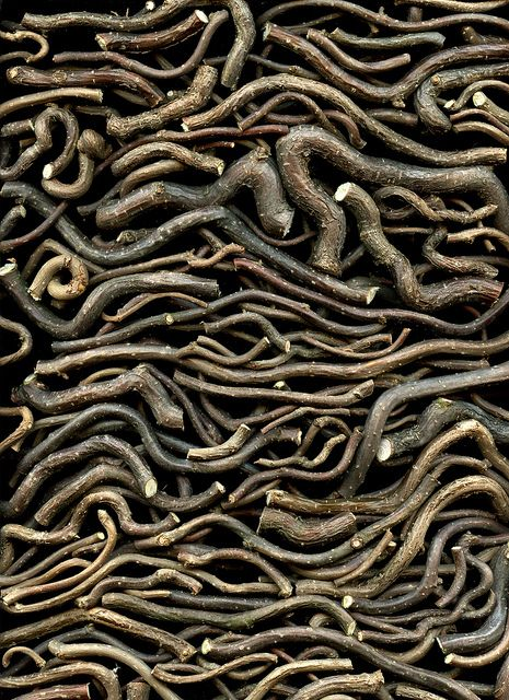 Corylus avellana 'Contorta' by horticultural art