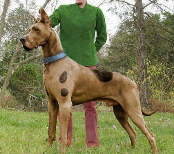 Scooby Doo I Love You! Fawn Great Dane (added spots!) with Shaggy. Cool, crazy and funny ideas for you to dress up your doggies this next Halloween. Check out more at www.barkingtails.com