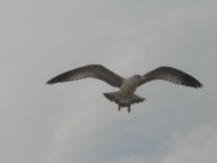 Seagull @ Virginia Beach