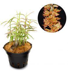 Dendrobium Faciferum Rp 125,000