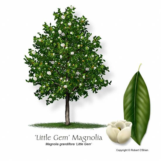 little gem magnolia - A dwarf Southern Magnolia with smaller dark green foliage and very compact narrow form. The leaves of this evergreen shrub or small tree are rusty-brown on the undersides. Useful in small gardens.