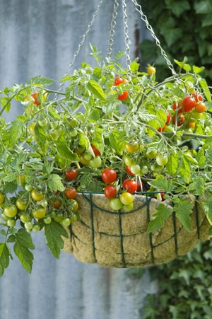 Tomato 'Lizzano' - veggies are so easy to grow in baskets - but you need varieties bred for small containers.