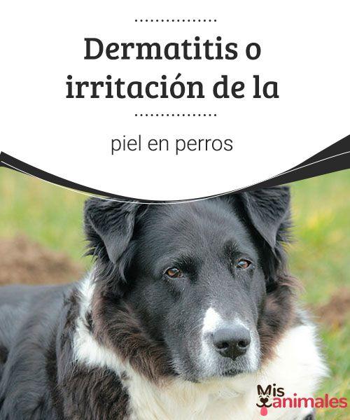 Dermatitis o irritación de la piel en perros  Los perros tienen diferentes clases de problemas que afectan la piel y el pelaje. La dermatitis es la causa más común, por lo que nos extenderemos en esto. #enfermedad #piel #dermatitis #salud