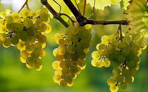 Hungarian - Tokaj grapes