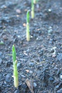 How to Grow Garlic!