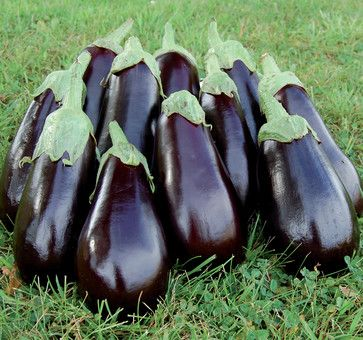 Summer Crops: How To Grow Eggplant Plant Glossy Purple Eggplant As Much For  Its Beauty
