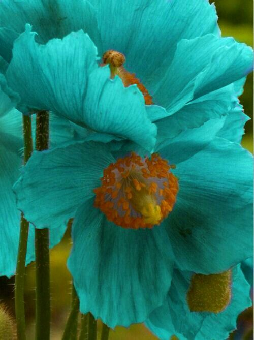 Unusual color. I like this variety. I looked up turquoise poppy and they do exist!
