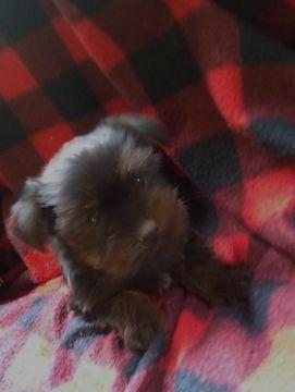 Litter of 5 Shorkie Tzu-Yorkshire Terrier Mix puppies for sale in BELLEVILLE, PA. ADN-67774 on PuppyFinder.com Gender: Male. Age: 7 Weeks Old