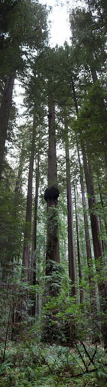 Sequoia sempervirens - Wikipedia, the free encyclopedia