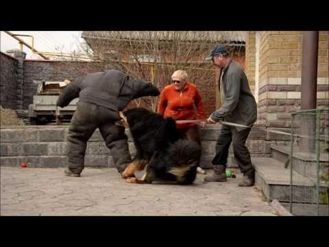 Tibetan Mastiff attack - protection dog test !!! Nasledie Tibeta Russia - YouTube