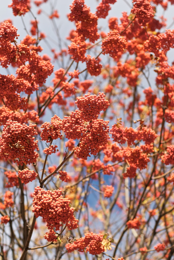 mountain ash = rowan