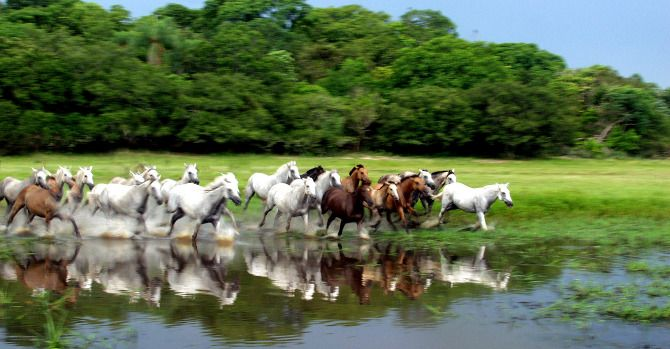 Pantaneiro horse (Bogtrotter). Reportagens - cavalo pantaneiro