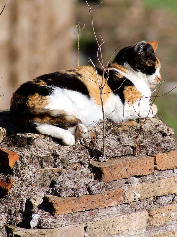 """Lazy sunbath: Located in Largo Argentina, in the quarter Pigna, is the """"Torre Argentina Cat Sanctuary"""", a shelter for homeless cats (of which Rome has many), as the historical area abounds with various breeds of cats. #italy #rome #cat #shelter #largoargentina #pigna #quarter #travel #citytrip #torreargentina"""